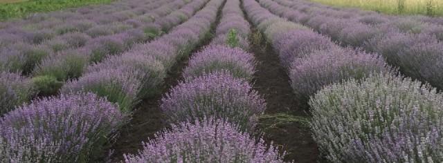 Plante aromatice pentru adaptarea agriculturii la schimbările climatice